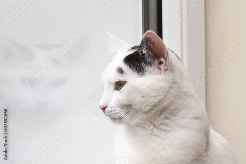 Fotografie, Tablou  cat looking out the window