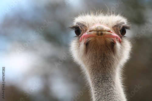 Tuinposter Struisvogel ostrich bird head and neck front portrait in the park