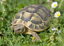 Hermann's Tortoise In Grass
