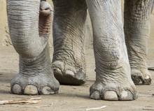 Proboscis And Legs Of An Elephant