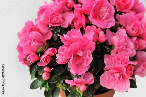 Poster Azalea pink azalea on white background close-up isolated
