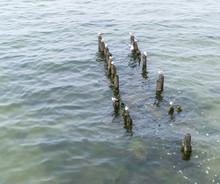 Seagulls On Rotten Piles