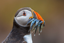 Puffin With Beak Full Of Fish