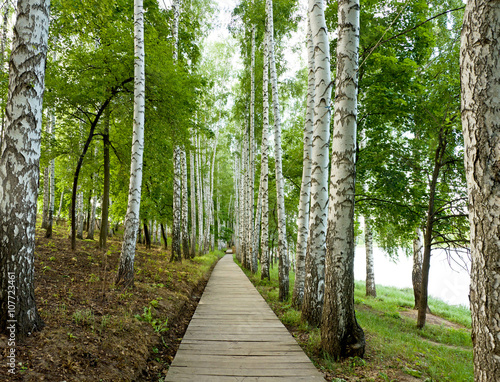 Beautiful birch alley in spring