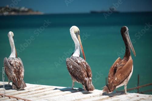 Foto op Plexiglas Caraïben Pelicans on the Pacific coast