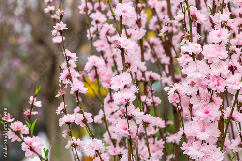 Beautiful Pink Sakura Tree in Garden, China Poster