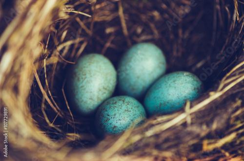 Valokuva  Amselnest mit vier Eiern
