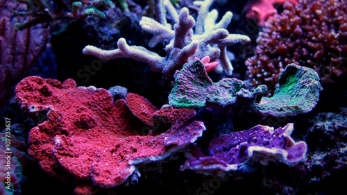 Poster Sous-marin Montipora Coral mixed colors