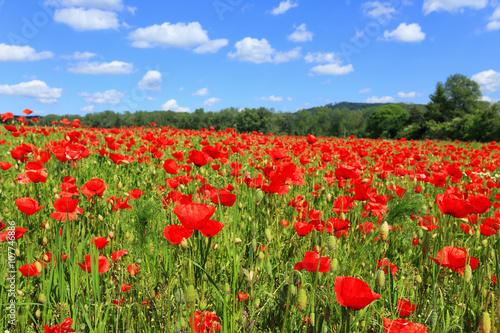 Fototapeta Field of red Poppy obraz na płótnie
