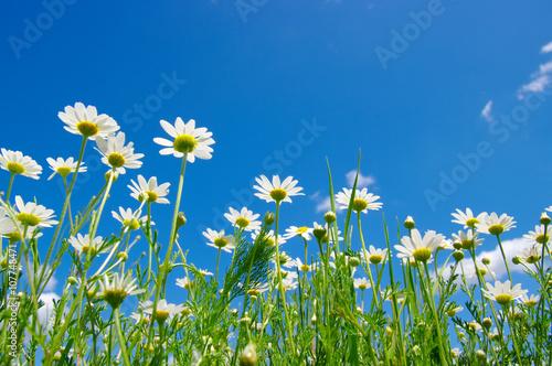 Photo white daisies on blue sky