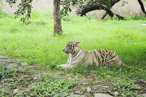 In de dag Panter white tiger