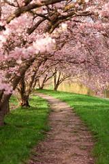 Naklejka 3D Blühende Kirschbäume im Frühling