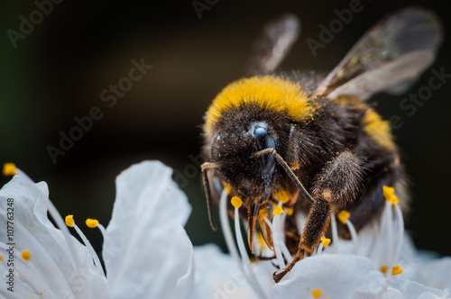 Macro of a bumblebee collecting nectar on flower Fototapeta
