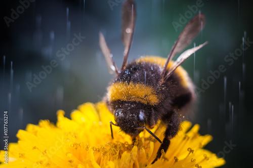 Macro of a bumblebee collecting nectar on flower Fototapeta