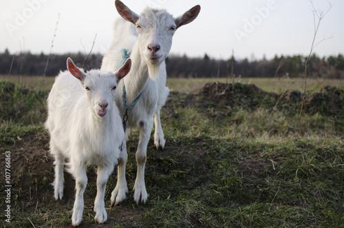 Canvas Print Russian white goat