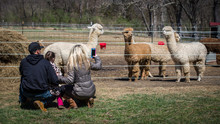 Father, Young Daughter And Mother Watching The Alpacas At The Farm