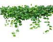 Heart shaped leaves vine, devil's ivy, golden pothos, isolated o