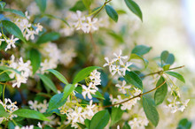 Star Jasmine Flowers On A Bloo...