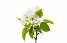 Flowers Pear Isolated