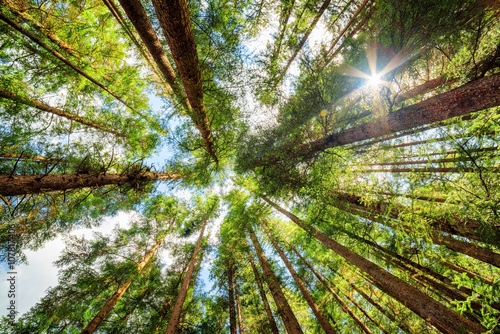 Fotografie, Obraz Bottom view of tall old trees in evergreen primeval forest