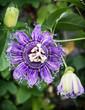 Macro photo of Passiflora incarnata in botanic garden