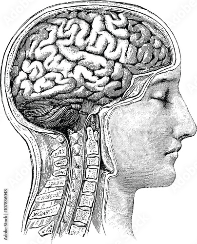 Vintage anatomical image human brain - Buy this stock illustration ...