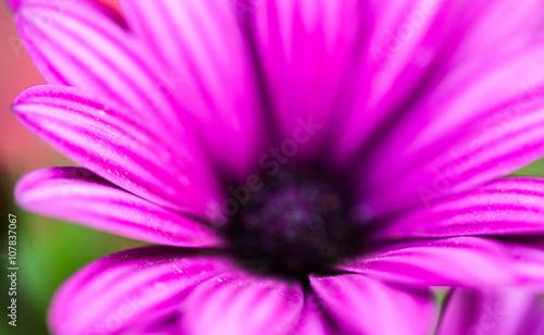 Aluminium Prints Macro photography Purple flower of osteospermum