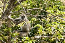 Monkey Sry Lanka