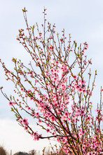 Flowering Peach Tree With Gray Sky Background