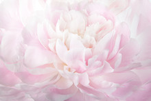 Floral Abstract Background, Macro Photography Gentle Pink Peony