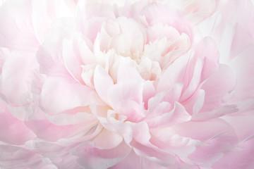 FototapetaFloral abstract background, macro photography gentle pink peony