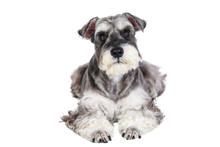 Miniature Schnauzer Isolated With White Background