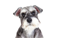 Miniature Schnauzer Isolated W...