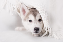 Cute Little Puppy Sit On White Background