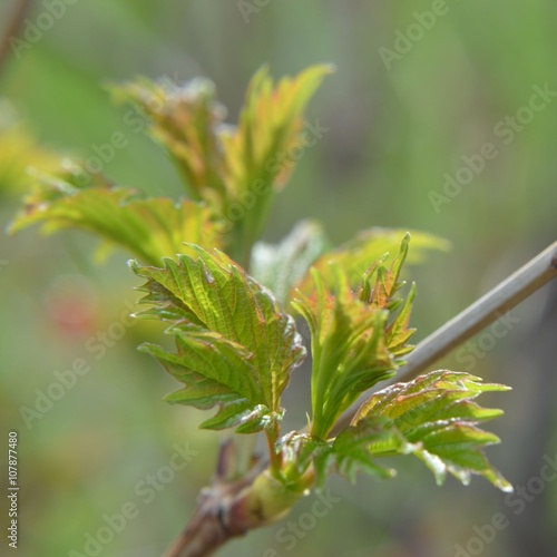 Foto op Canvas Klaprozen Frisches Blattgrün entfaltet sich im Frühling