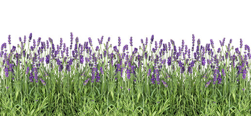 Panel Szklany Minimalistyczny Lavender flowers. Fresh lavender plants isolated on white