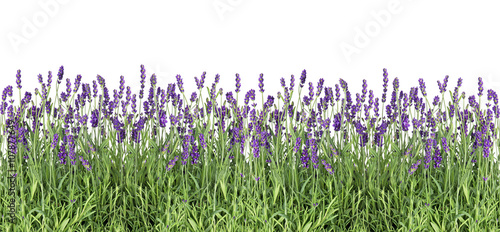 Photo sur Aluminium Lavande Lavender flowers. Fresh lavender plants isolated on white