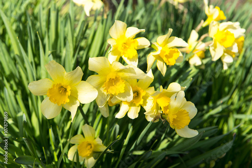 Flower Bed With Yellow Daffodil Flowers Blooming In The Spring