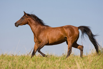 Brown horse running on the meadow
