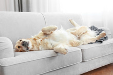 Golden Retriever Lying On A So...
