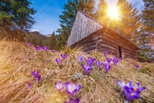 Wooden Cabin And Crocuses