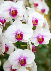 Fototapeta White phalaenopsis orchid flower