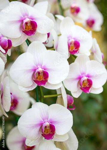 White phalaenopsis orchid flower - 107906049