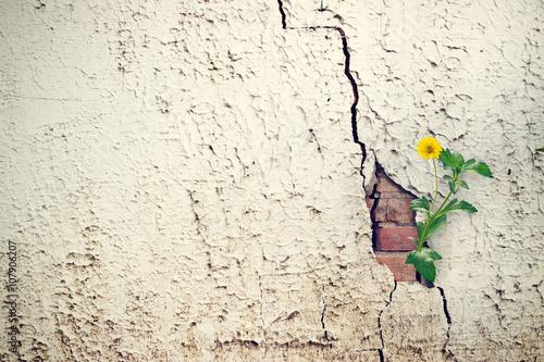Fototapeta yellow flower growing on crack grunge wall, soft focus obraz
