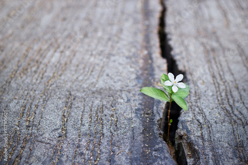 Fotografiet  white flower growing on crack street, soft focus, blank text