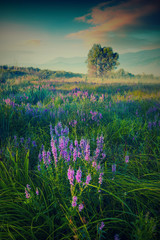 FototapetaMany blue flowers in a high grass. Vintage colors