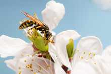 Closeup Wasp (Polistes Dominula) On Flowers Of Apricot Early Spring On Sky Background.