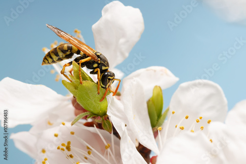 Fényképezés closeup wasp (Polistes dominula) on flowers of apricot early spring on sky background