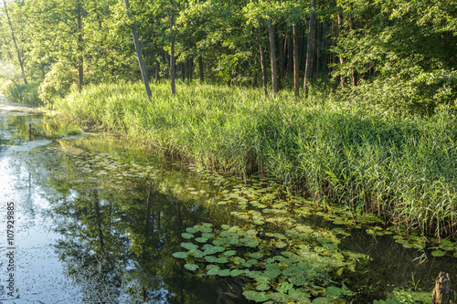 Nénuphars Summer landscape of wood calm river with yellow water-lilies and sedge thickets