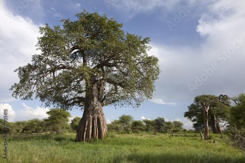 In de dag Baobab Baobab tree in african landscape